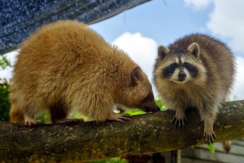 Wildlife Removal Virginia - Raccoons