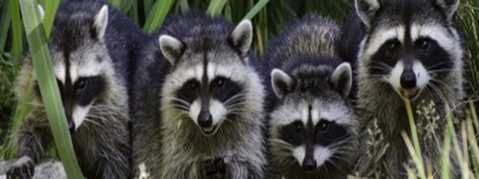 Raccoon Removal in Northern VA