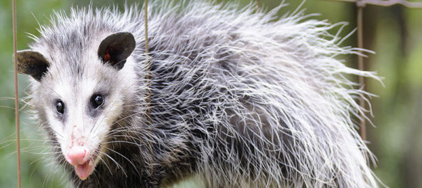 Wildlife Removal Services in Northern Virginia and Eastern Maryland