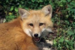 Fox Removal Virginia