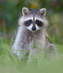 Wildlife Critter Control Virginia - Raccoon