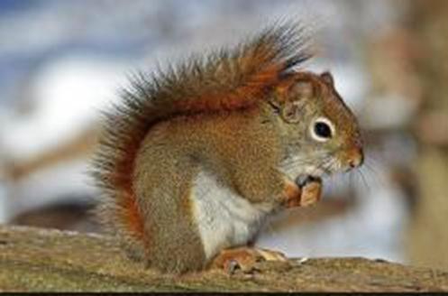 Wildlife Removal Quotes Virginia - squirrel